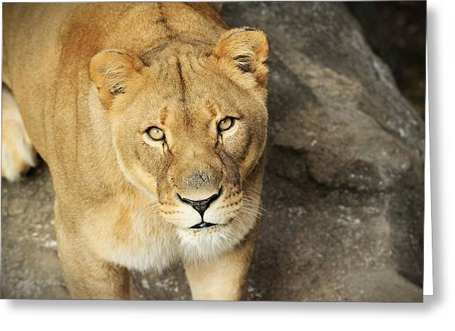 Lioness Greeting Cards - Eyes Of The Lioness Greeting Card by Christopher Miles Carter