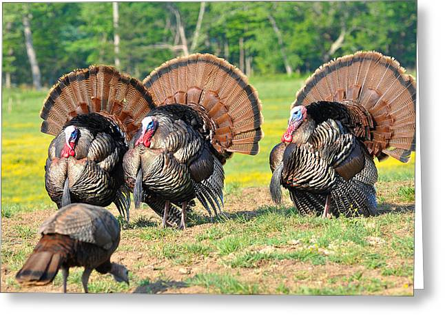 Eastern Wild Turkey Greeting Cards - Eyes On The Prize Greeting Card by Todd Hostetter