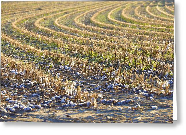 Georgia Cotton Fields Greeting Cards - Fabric Of Our Lives Greeting Card by Jan Amiss Photography