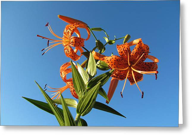 Indiana Flowers Greeting Cards - Fabulous Tiger Lily Greeting Card by Tina M Wenger