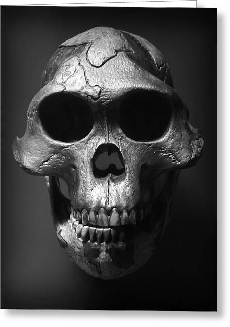 Face Of Our Ancestor - Australopithecus Afarensis Greeting Card by Daniel Hagerman