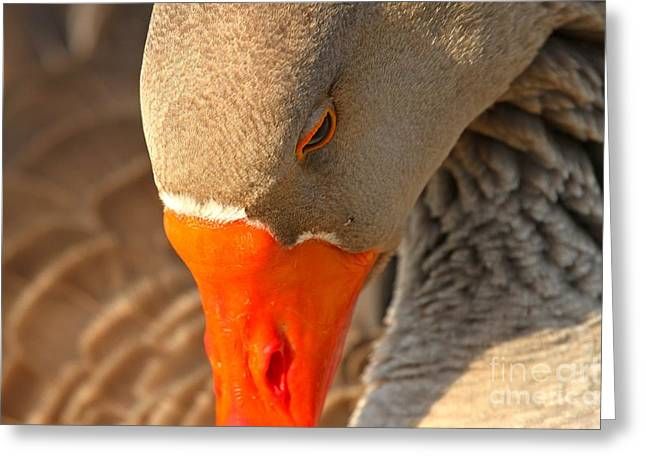 Face Of The Toulouse Goose Greeting Card by Adam Jewell