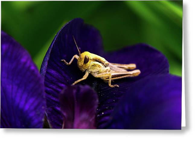 Face To Face With Grasshopper Greeting Card by Douglas Barnett