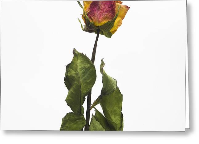 Single Flower Greeting Cards - Faded rose flower Greeting Card by Bernard Jaubert