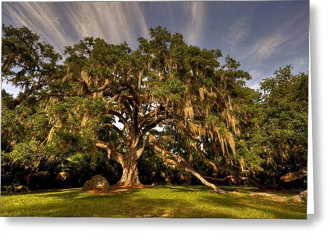 Large Trees Greeting Cards - Fairchild Oak Greeting Card by Andrew Armstrong  -  Mad Lab Images
