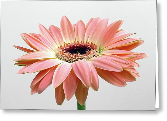 With Love Greeting Cards - Faithful Daisy Greeting Card by Juergen Roth