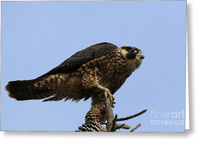 California Beaches Greeting Cards - Falcon On A Stick Greeting Card by Craig Corwin
