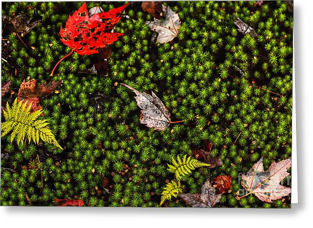Woodland Scenes Greeting Cards - Fall Color Fern Leaves Moss Greeting Card by Thomas R Fletcher