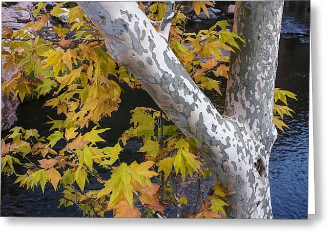 Fall Colors At Slide Rock Arizona- Tree Bark Greeting Card by Dave Dilli