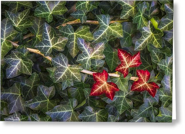 Fall Ivy Leaves Greeting Card by Adam Romanowicz
