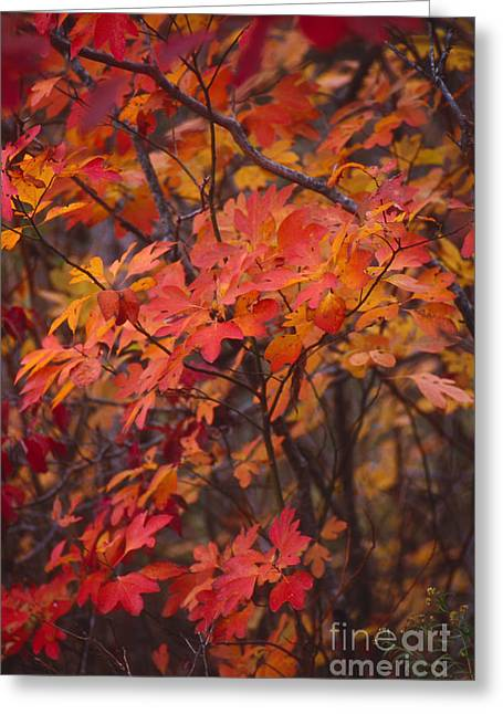Southern Indiana Photographs Photographs Greeting Cards - Fall Sassafras Greeting Card by Lowell Anderson