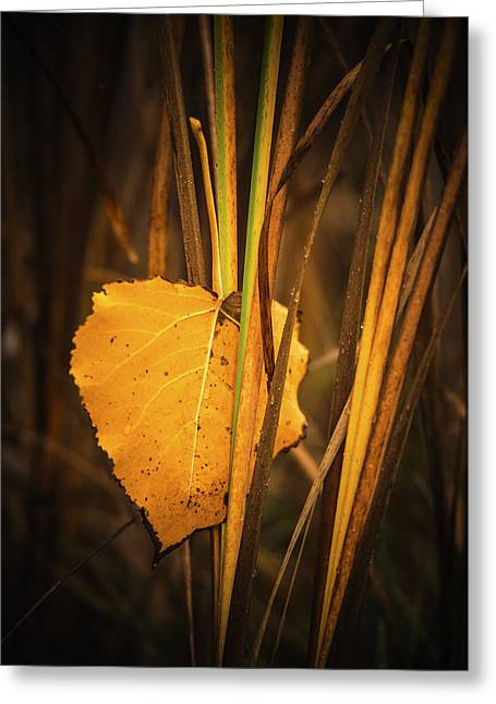 Fall Grass Greeting Cards - Fallen Cottonwood leaf in autumn Greeting Card by Vishwanath Bhat