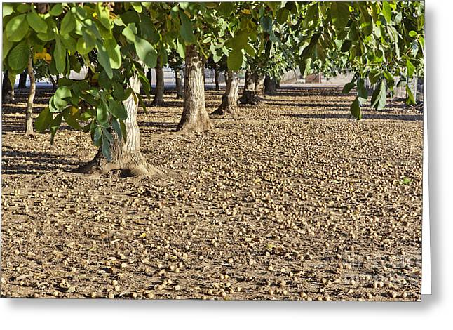 Ready For Harvest Greeting Cards - Fallen English Walnuts Greeting Card by Inga Spence