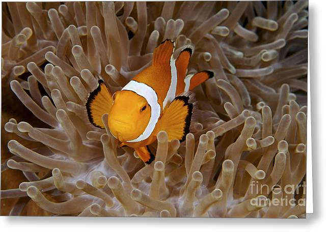 False Clownfish Greeting Card by Steve Rosenberg - Printscapes