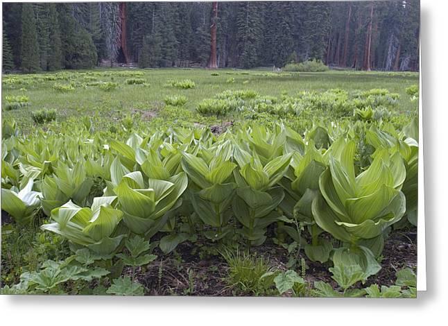 False Hellebore Greeting Cards - False Hellebore Veratrum Viride Plants Greeting Card by Rich Reid