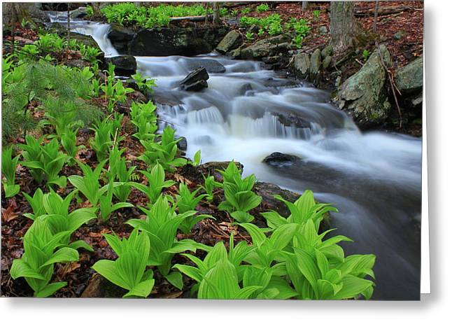 False Hellebore Greeting Cards - False Hellebore Wildflowers along Forest Stream Greeting Card by John Burk