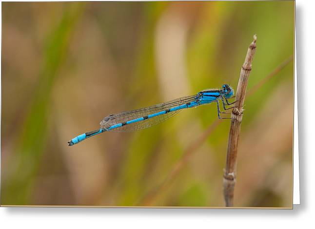 Tiny Bluet Greeting Cards - Familiar Bluet Greeting Card by Gerald DeBoer