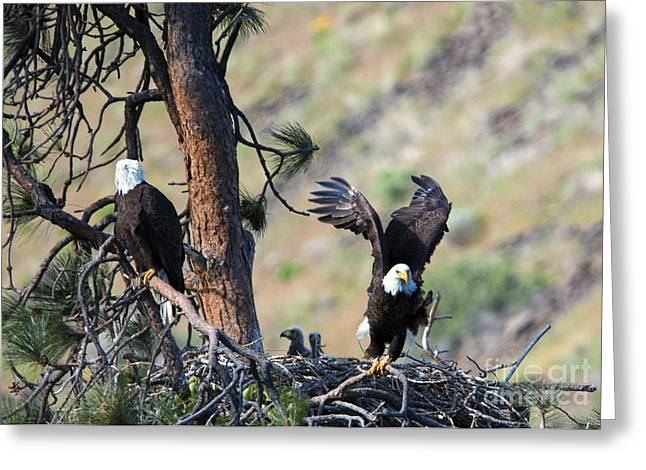 Eaglet Greeting Cards - Family of Four Greeting Card by Mike Dawson