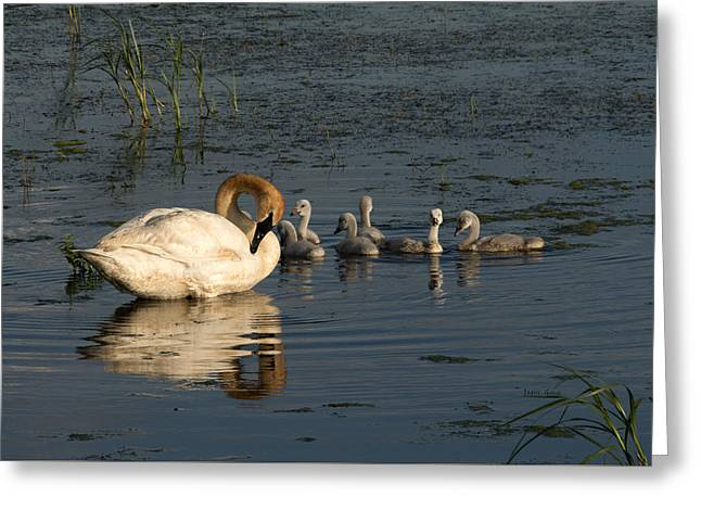 Swans... Greeting Cards - Family Outing Greeting Card by Jayne Gohr