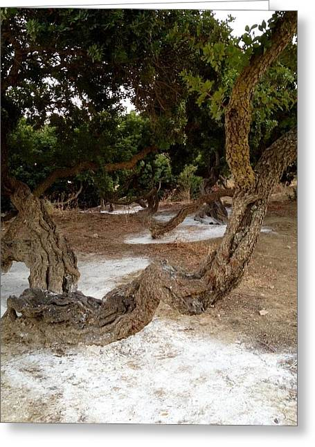 Chios Greeting Cards - Famous Mustic -Gum Tree In Chios  Greeting Card by Viktoriya Sirris