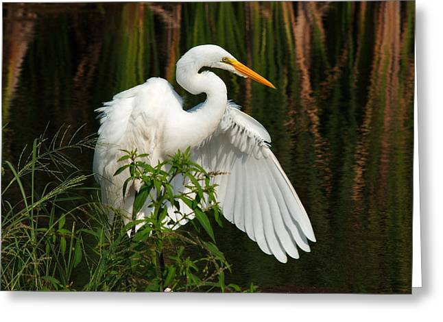 Water Fowl Greeting Cards - Fan Dance Greeting Card by Laura Ragland