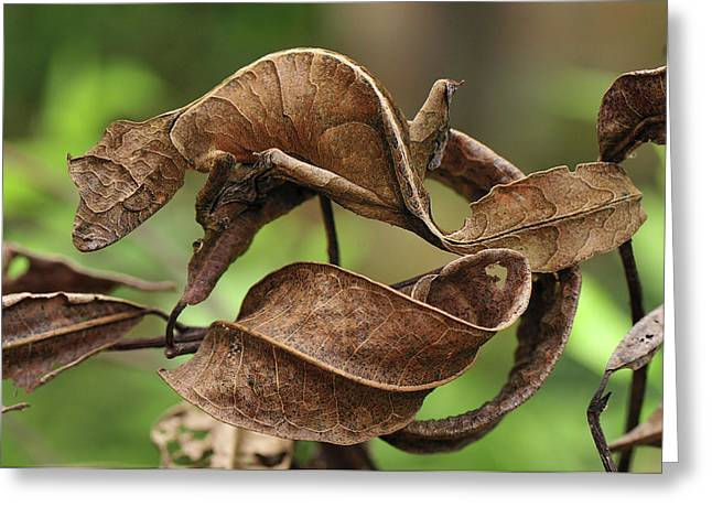 Mimic Greeting Cards - Fantastic Leaf-tail Gecko Uroplatus Greeting Card by Thomas Marent