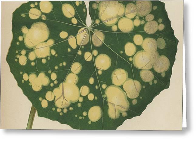Farfugium Grande  Leopard Plant, Green Leopard Plant Greeting Card by English School
