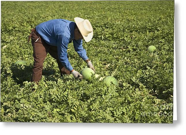Watermelon Greeting Cards - Farm Worker Harvesting Watermelons Greeting Card by Inga Spence