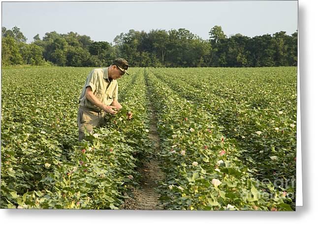 Georgia Cotton Fields Greeting Cards - Farmer Inspects His Cotton Field Greeting Card by Inga Spence