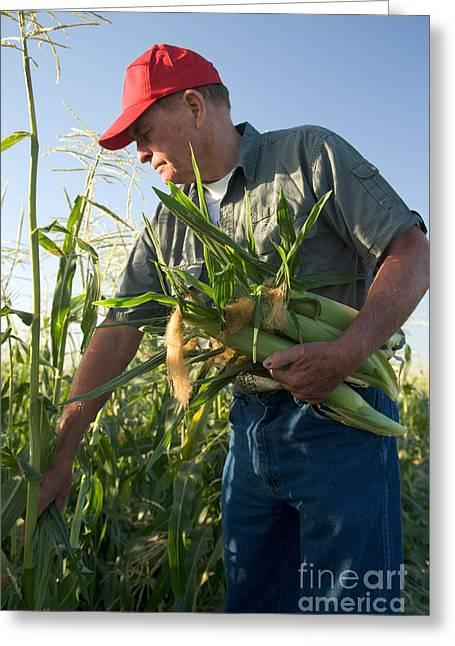 Sweet Corn Greeting Cards - Farmer With Corn Greeting Card by Inga Spence