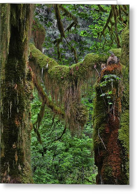 Moist Greeting Cards - Fascinating Hoh Valley - Hoh Rain Forest Olympic National Park ONP WA USA Greeting Card by Christine Till