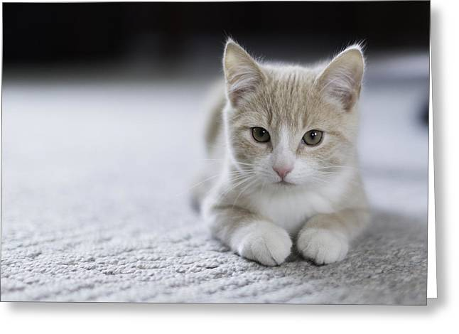 Kitten Photographs Greeting Cards - Faux Innocence  Greeting Card by Everet Regal