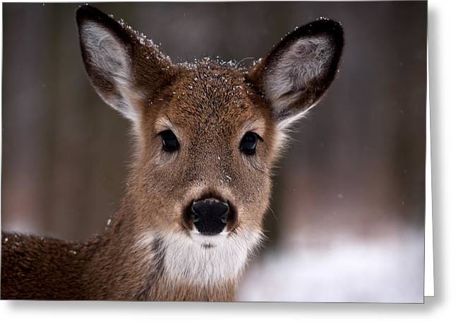 Deer Photographs Greeting Cards - Fawn Greeting Card by Cale Best