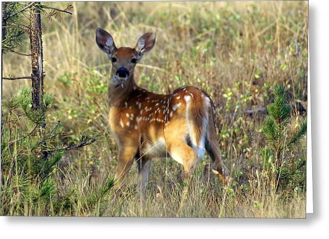 Fawn Greeting Card by Marty Koch