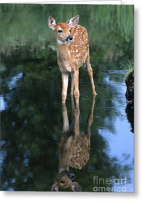 North American Wildlife Photographs Greeting Cards - Fawn Reflection Greeting Card by Sandra Bronstein