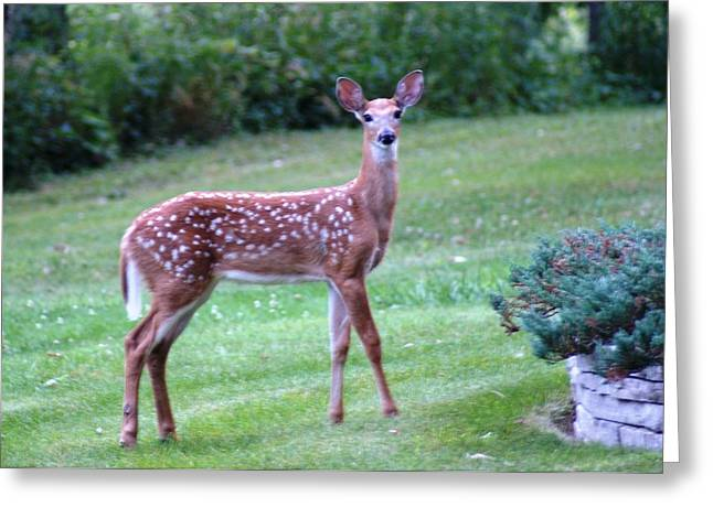 Fawn Standing Greeting Card by Geralyn Palmer