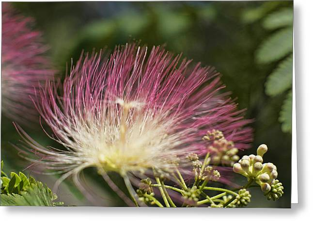 Mimosa Flowers Greeting Cards - Feathery Mimosa Blooms Greeting Card by Cricket Hackmann