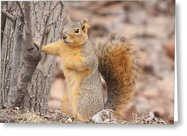 Fox Squirrel Mixed Media Greeting Cards - Feed Me Greeting Card by Robert Pearson
