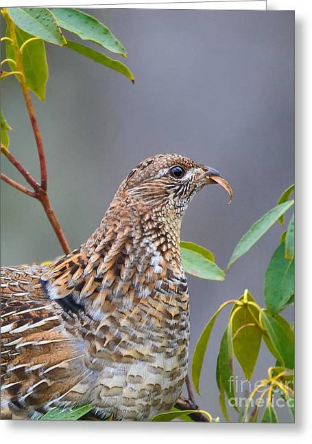 Game Greeting Cards - Feeding Grouse Closeup Greeting Card by Timothy Flanigan