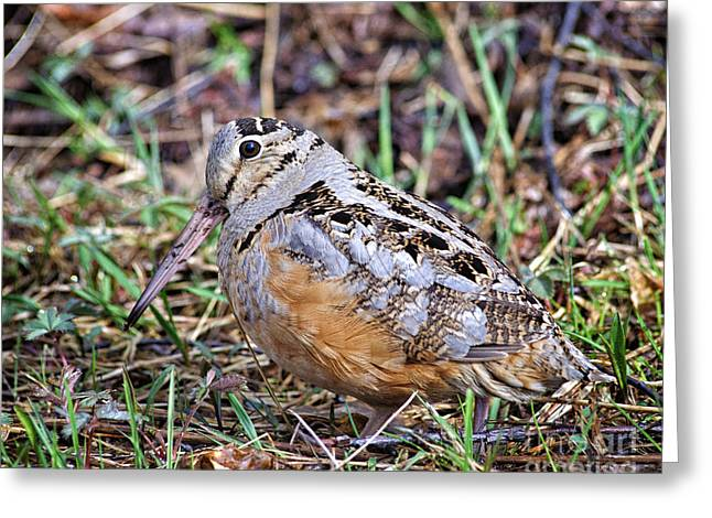 Game Greeting Cards - Feeding Hen Woodcock Greeting Card by Timothy Flanigan