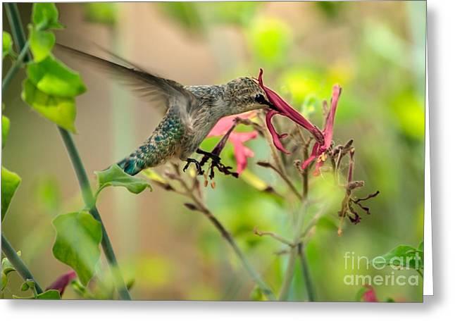 Feeding Hummingbird Greeting Card by Robert Bales