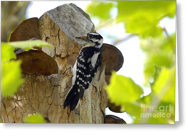 """""""downy Woodpecker"""" Greeting Cards - Feeding Time Greeting Card by David Lee Thompson"""