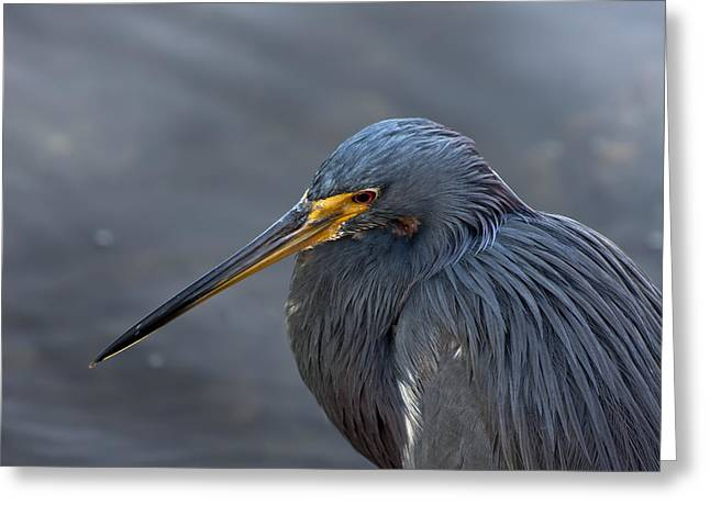 Blue Heron Greeting Cards - Feeling Blue Greeting Card by Evelina Kremsdorf