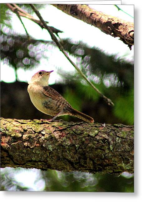 Feisty Greeting Cards - Feisty Little Wren by Earls Photography Greeting Card by Earl  Eells a