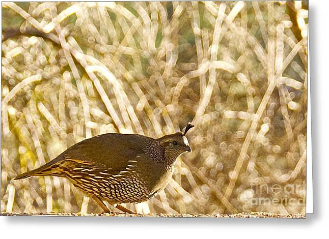 Sean Griffin Greeting Cards - Female California Quail Greeting Card by Sean Griffin