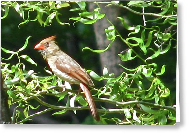 Peaches On A Tree Greeting Cards - Female Cardinal Greeting Card by Debra     Vatalaro