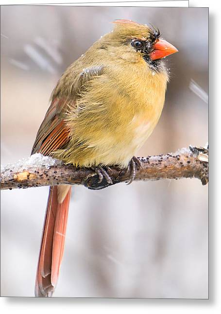 Female Cardinal In Winter Greeting Card by Jim Hughes