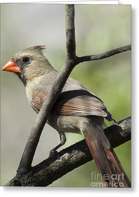 Cardinalis Greeting Cards - Female Cardinal Greeting Card by Thomas R Fletcher