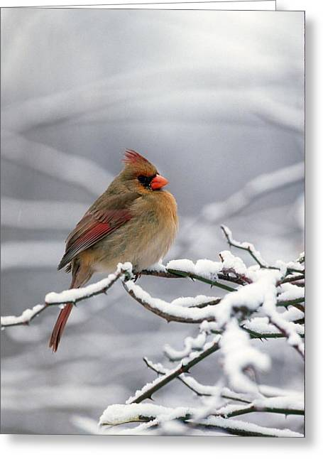 Female Cardnal In That Snow Greeting Card by Terry Dickinson