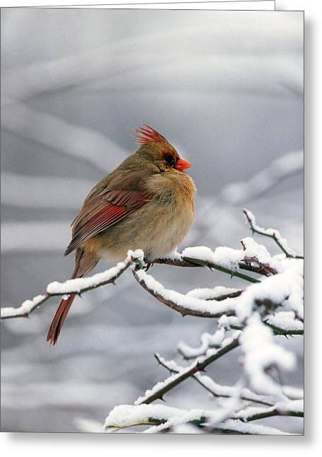 Female Cardnal In The Snow #2 Greeting Card by Terry Dickinson